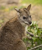 foto of wallaby  - Portrait of a wallaby in the nature - JPG