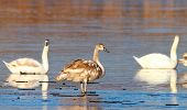 Juvenile Mute Swan Winter Image