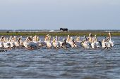 Pelicans In Shallow Water