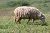 Sheep Grazing On Green Meadow