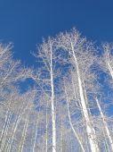 Bare Winter Aspens