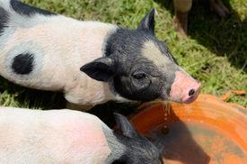 pic of pot-bellied  - Thai style Vietnamese Pot Belly piglet nursery house in Thai pig farm - JPG