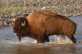 image of lamar  - An American Bison bull bawling while crossing the Lamar River in Yellowstone National Park - JPG