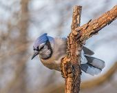 foto of blue jay  - A Blue Jay perched on tree branch. ** Note: Visible grain at 100%, best at smaller sizes - JPG