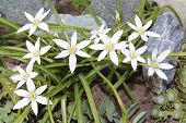 Flowers ornithogalum blooming in the garden