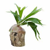 picture of epiphyte  - Staghorn fern on stump isolated on white background - JPG