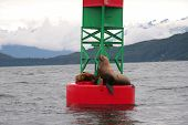 Sea Lions on a Bell Bouy