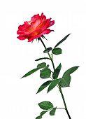 Scarlet Rose Flower Isolated