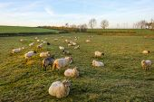 Sheep in a meadow at sunrise in autumn