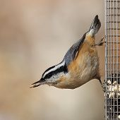 Red Breasted Nuthatch - Sitta Canadensis