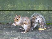 Grey Squirrel With Nuts