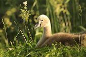 Family of young swans - cygnets