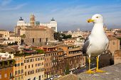 Urban Seagull Against The Panorama Of Rome