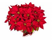 Red Poinsettia or Christmas Star Flower