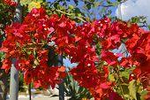 Bougainvillea spectabilis flowering