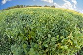 Fish Eye View Of Soybeans