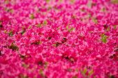 Carpet of  pink flowers, Rhododendron.