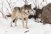 A lone Grey Wolf in a winter environment