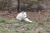 Arctic Wolf in a fall landscape