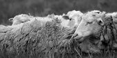 Sheep Rest