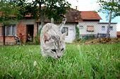 foto of sneak  - A close up of a grey cat sneaking in the grass with houses in the background - JPG