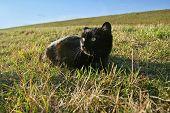 Black Cat Lying In Grass On Meadow