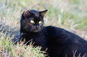 Black Cat Lying In Grass