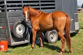 picture of horse face  - A beautiful brown horse with a white strip down its face tied with a rope to a horse trailer in a grassy area - JPG