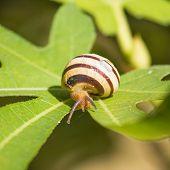 Snail On Green Fig Leaf