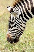 foto of sub-saharan  - Portrait of a Zebra grazing on some short grass - JPG