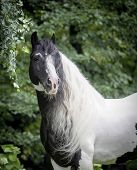 foto of paint horse  - The tinker horse with long white mane - JPG