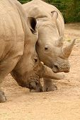 image of mating  - White rhinoceros horn battle for mating rights - JPG