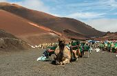 picture of caravan  - Caravan of camels in the desert on Lanzarote in the Canary Islands - JPG