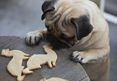 stock photo of ferrets  - Beautiful male Pug puppy truing to get cookies in shape of a ferret on a wooden table background. ** Note: Shallow depth of field - JPG