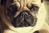 picture of puppy dog face  - Close up face of Cute pug puppy dog sleeping in sunshine - JPG