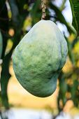 foto of ugly  - Mango tree with a ugly of fruits - JPG