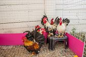 image of bantams  - Colorful Rooster - JPG