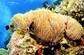 foto of clown fish  - Anemone - JPG