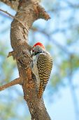 picture of woodpecker  - A golden - JPG
