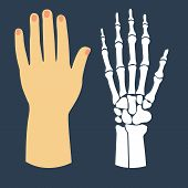 picture of skeleton  - The flat design of the hand and the hand skeleton - JPG