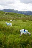 foto of ireland  - sheep on the kerry way in irelands wild atlantic way - JPG