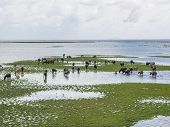 pic of swamps  - Swamp Buffalo grazing in Thale Noi - JPG