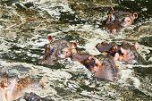 picture of bathing  - Hippopotamus enjoying bathing in water during the hot day in Masai Mara Kenya - JPG