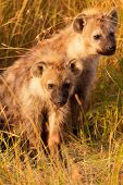 image of hyenas  - Baby spotted hyenas just come out from their hole Masai Mara