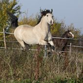picture of arena  - Gorgeous welsh cob running in arena with autumn background  - JPG
