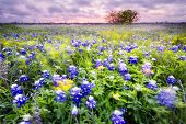 picture of wind blown  - Open meadow containing numerous bluebonnets blowing in the wind at sunrise - JPG