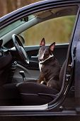 image of bull-riding  - black bull terrier dog sitting in a car - JPG