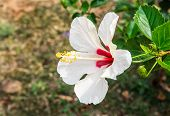 picture of stamen  - Hibiscus flower in the garden - JPG