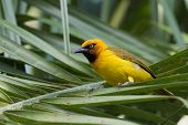 image of spectacles  - A male Spectacled Weaver  - JPG