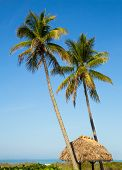 stock photo of beach hut  - Two tall palm trees rise above a thatched tiki hut roof on a Gulf Coast beach at Sanibel Island Florida - JPG